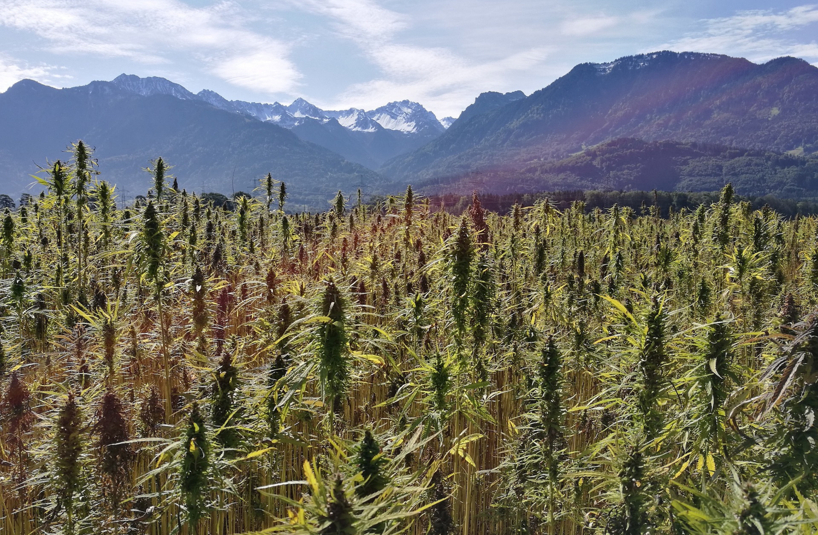 Countering the Environmental Effects of Cannabis Production