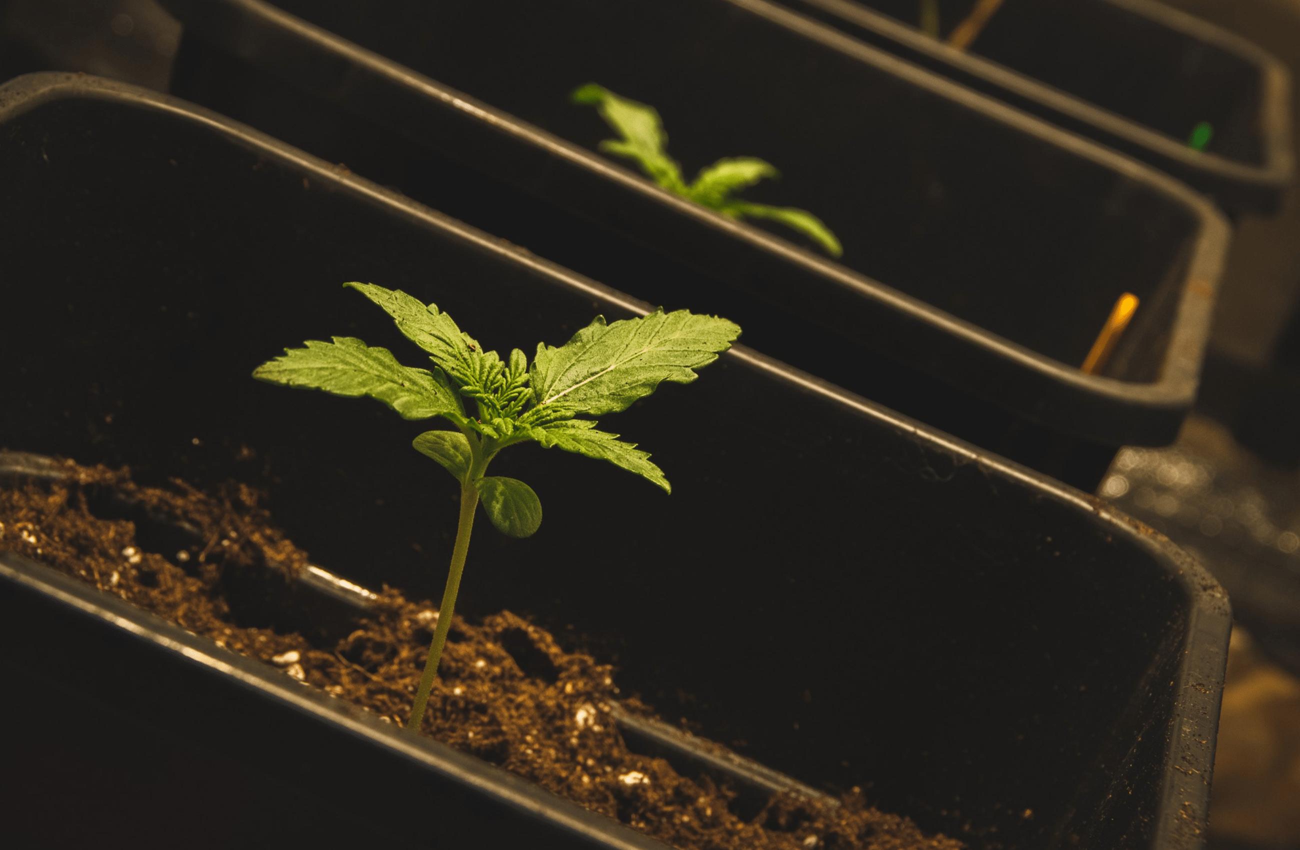 Innovative Cannabis Manufacturing