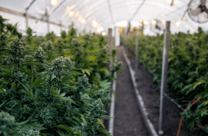 Automation for the Cannabis Growing Process