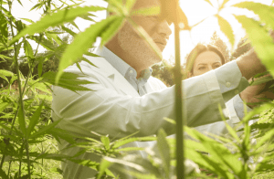 Person Viewing Cannabis Plant to Determine Harvest While Thinking About the Top Challenges for Cannabis Cultivators